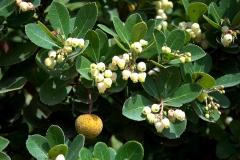 Westlicher Erdbeerbaum (Arbutus unedo)