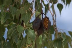 Kurrajong-Flaschenbaum (Brachychiton populneus)