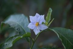 Argentinischer Nachtschatten (Solanum bonariense)