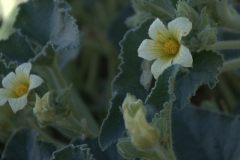 Spritzgurke (Ecballium elaterium)