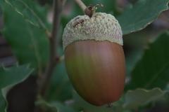 Kork-Eiche (Quercus suber)