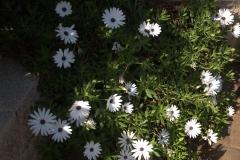 Bornholmmargerite (Osteospermum ecklonis)