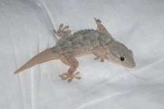 Mauergecko (Tarentola mauritanica) - Jungtier