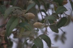 Norfolkeibisch (Lagunaria patersonia)
