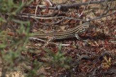 Europäischer Fransenfinger (Acanthodactylus erythrurus) - Jungtier