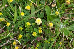 Feld-Klee (Trifolium campestre)