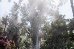 Eukalyptusbaum (Eucalyptus viminalis)