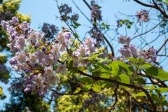 Blauglockenbaum (Paulownia fortunei)