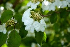 Japanischer Schneeball (Viburnum plicatum)