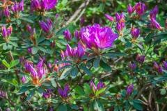 Satsuki-Azalee (Rhododendron indicum)