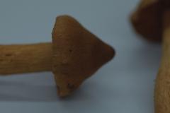 Spitzgebuckelter Raukopf (Cortinarius rubellus)