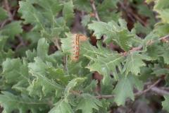 Flaumeiche (Quercus pubescens)