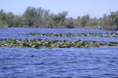 Weißbart-Seeschwalben (Chlidonias hybrida)