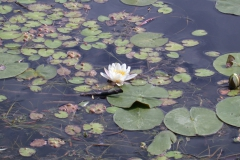 Seerose (Nymphaea)