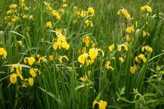 Sumpfschwertlilie (Iris pseudacorus)