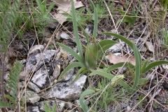 Zwergschwertlilie (Iris pumila)