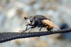 Große Borsten-Raupenfliege (Nowickia ferox)