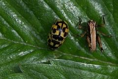 Marienkäfer (Propylea quatuordecimpunctata)