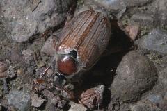 Waldmaikäfer (Melolontha hippocastani)