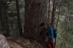 Korsische Schwarzkiefer (Pinus nigra subsp. laricio)
