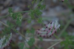 Ranken-Erdrauch (Fumaria capreolata)