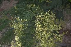Silber-Akazie (Acacia dealbata)