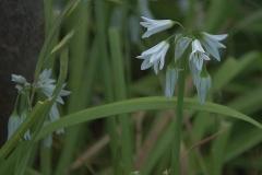 Glöckchen-Lauch (Allium triquetrum)