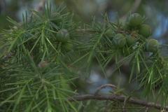 Stech-Wacholder (Juniperus oxycedrus)
