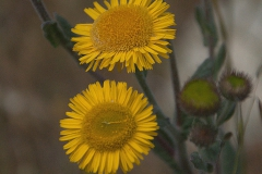 Kleines Flohkraut (Pulicaria vulgaris)