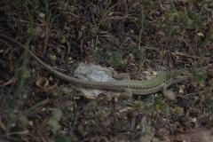 Ruineneidechse (Podarcis siculus)