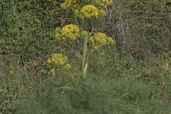 Riesenfenchel (Ferula communis communis)
