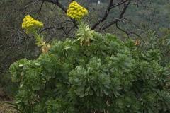 Rosettendickblatt (Aeonium arboreum)