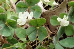 Bodenfrüchtiger Klee (Trifolium subterraneum)
