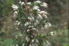 Baumheide (Erica arborea)
