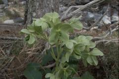 Korsische Nieswurz (Helleborus argutifolius)