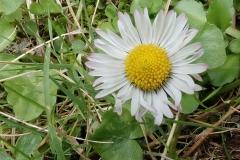 Korsisches Gänseblümchen (Bellis bernardii)