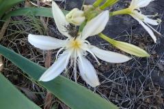 Trauer-Rosenkäfer (Oxythyrea funesta) auf Illyrischer Trichternarzisse (Pancratium illyricum)