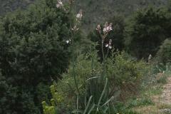 Kleinfrüchtiger Affodill (Asphodelus ramosus)