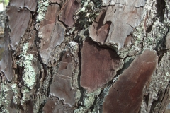 Aleppo-Kiefer (Pinus halepensis)