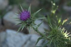 Mariendistel (Silybum marianum)