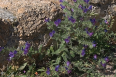 Wegerichblättriger Natternkopf (Echium plantagineum)