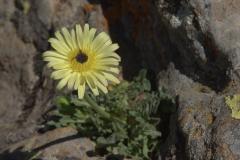 Weichhaariges Schwefelkörbchen (Urospermum dalechampii)