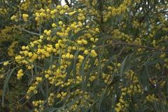 Immerblühende Akazie (Acacia retinodes)