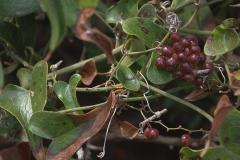 Raue Stechwinde (Smilax aspera)