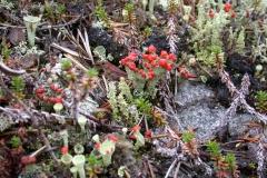 Flechte (Cladonia floerkeana)