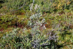 Torfgränke (Chamaedaphne calyculata)