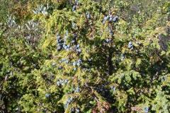Wacholder indet. (Juniperus indet.)