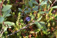 Rauschbeere oder Moorbeere (Vaccinium uliginosum)