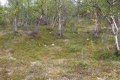 Rotkappen (Leccinum aurantiacum)
