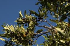 Kanarischer Lorbeerbaum (Laurus azorica)